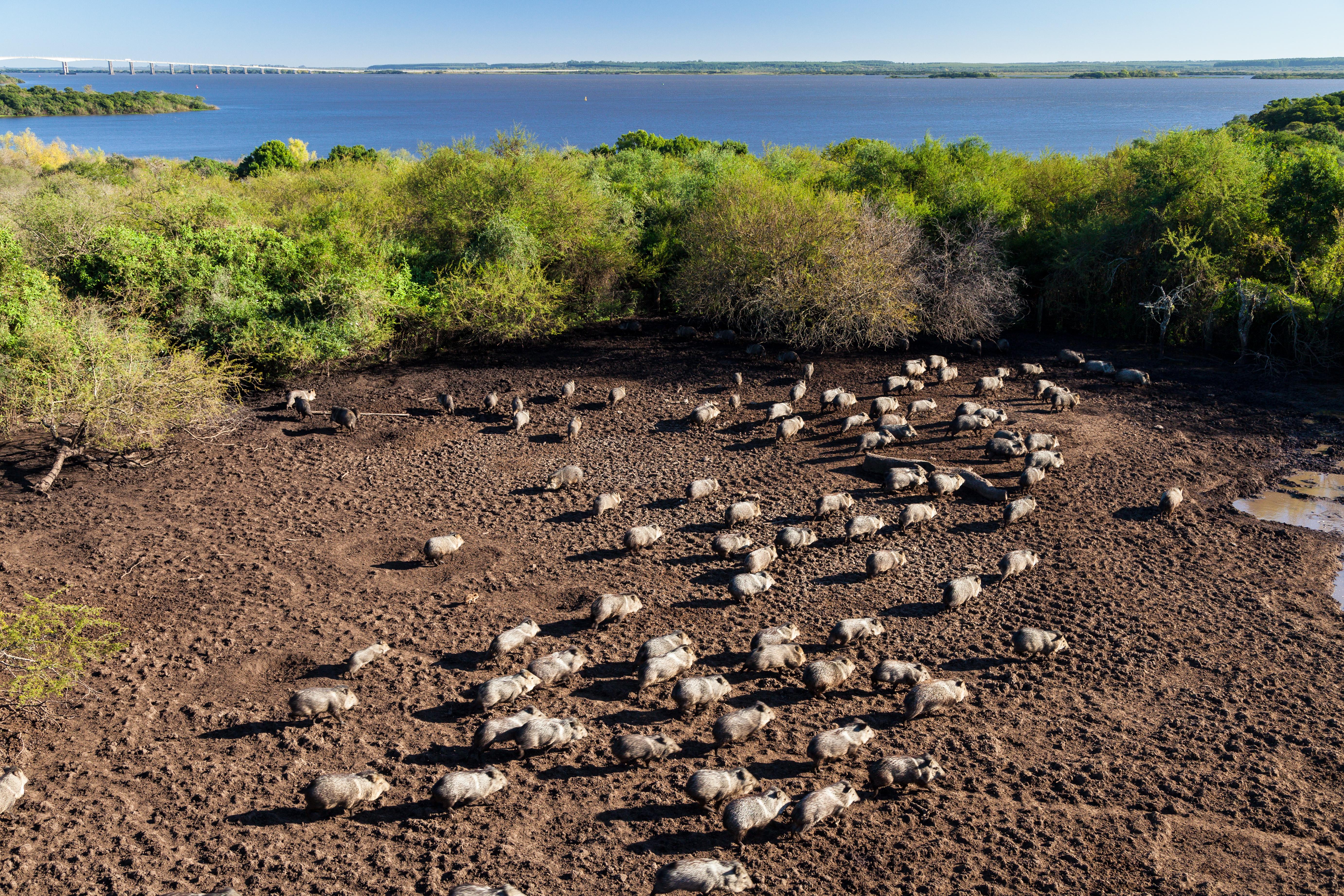 Pecaríes de collar liberados por Montes del Plata se adaptaron a su hábitat natural
